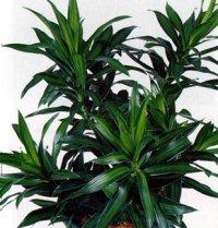 домашние растения драцена уход в домашних условиях фото